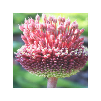 Close Up of An Ornamental Onion or Drumstick Alliu Canvas Print