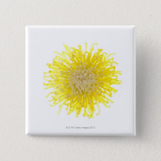 Close up of back lit Chrysanthemum flower head 2 Inch Square Button