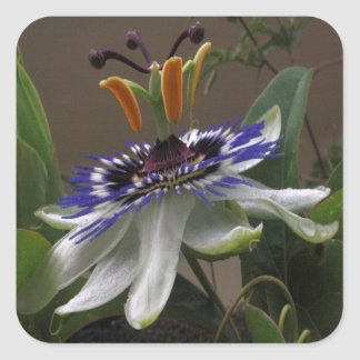 Close Up of Beautiful Passiflora Flower Square Sticker