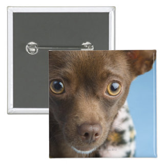 Close-up of chihuahua with furry collar 2 inch square button