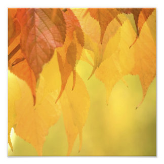 Close-up of Fall Leaves on a Branch Photograph
