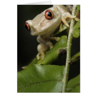 Close up of Forest Tree Frog (Leptopelis Card