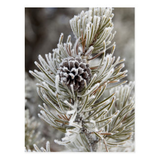 Close-up of frozen pine cone, Yellowstone Postcard
