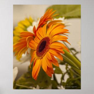 Close-up of Gerbera daisy flowers Poster