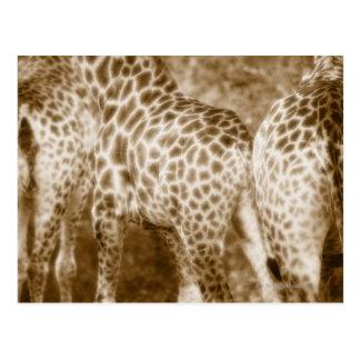 Close-Up of Giraffes Kruger National Park South Postcard