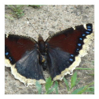 Close up of Gorgeous Mourning Cloak Butterfly Photograph