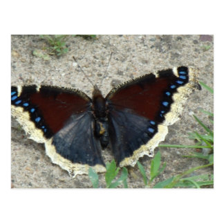Close up of Gorgeous Mourning Cloak Butterfly Postcard