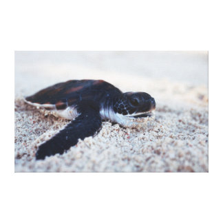 Close-Up of green sea turtle hatchings 1 Gallery Wrapped Canvas
