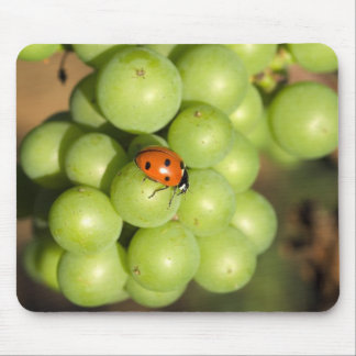 Close up of lady bug on green Pinot Noir grapes Mouse Pad