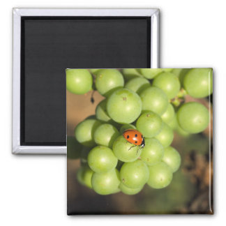 Close up of lady bug on green Pinot Noir grapes Square Magnet
