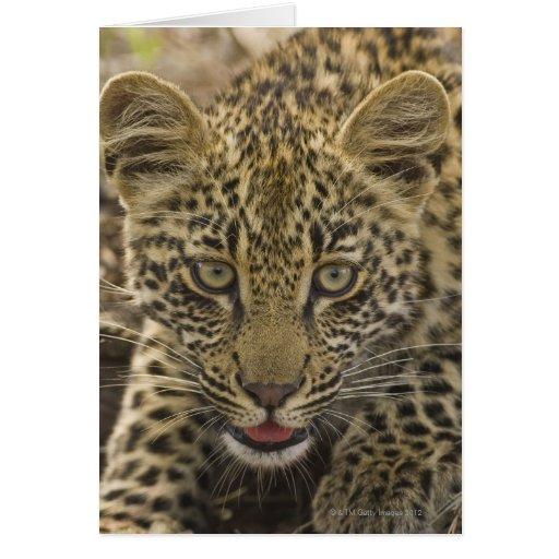 Close up of Leopard, Greater Kruger National 2 Cards