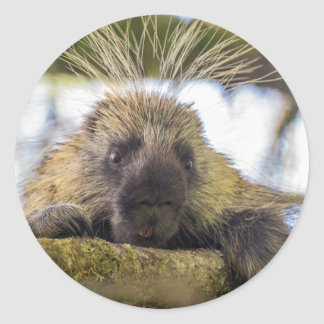 Close-up of porcupine in a tree classic round sticker