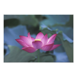 Close-up of red lotus flower and green leaves, photo print