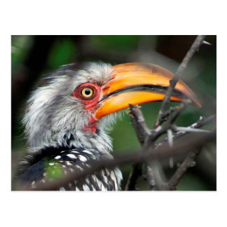 Close-Up Of Southern Yellow-Billed Hornbill Postcard