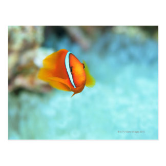 Close-up of tomato anemone fish, Okinawa, Japan Postcard