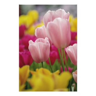 Close-up of tulip flower, Kuekenhof Gardens, Photo Print