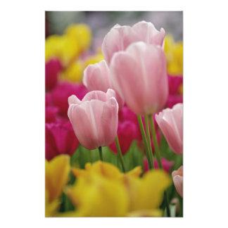 Close-up of tulip flower, Kuekenhof Gardens, Photographic Print
