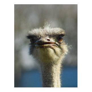 Close_Up_Ostrich_FullSize.jpg Postcard