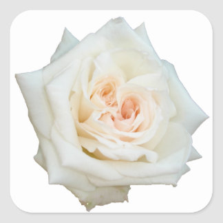 Close Up View Of A Beautiful White Rose Isolated Square Sticker