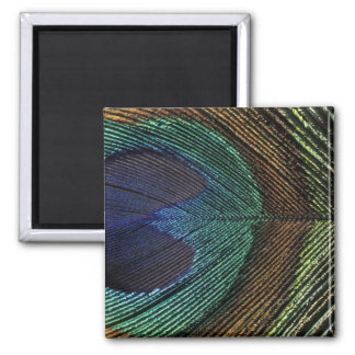 Close up view of eyespot on male peacock feather fridge magnet