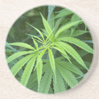 Close-Up View Of Marijuana Plant, Malkerns Drink Coasters