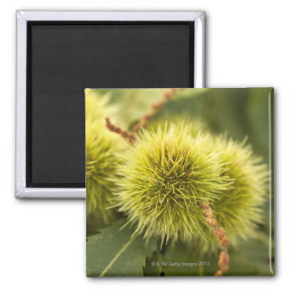 closed chestnuts on tree square magnet