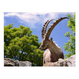 Closeup Alpine ibex Postcard