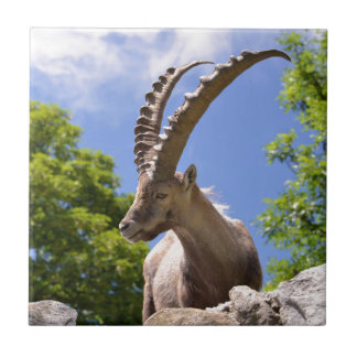 Closeup Alpine ibex Tile