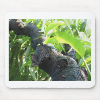 Closeup of peach tree excretion of gummy resin mouse pad