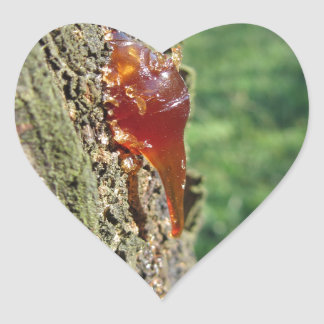 Closeup of pear tree excretion of gummy resin heart sticker