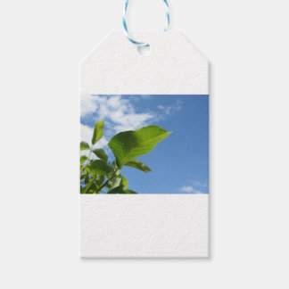 Closeup of walnut leaf lit by sunlight gift tags