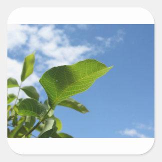 Closeup of walnut leaf lit by sunlight square sticker