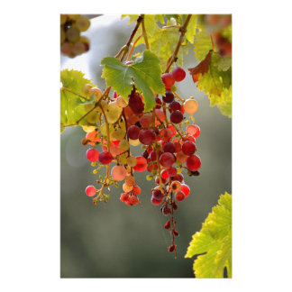 Closeup red grapes among leaves stationery