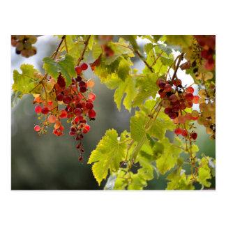 Closeup red grapes postcard