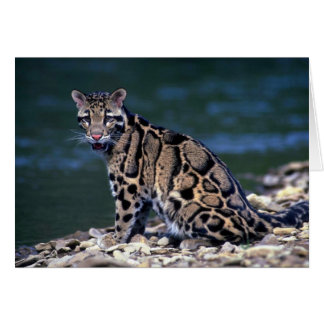 Clouded Leopard-eye contact Greeting Card