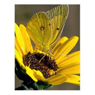 Clouded sulphur on yellow flower postcard