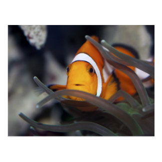 Clown-fish in anemone postcard