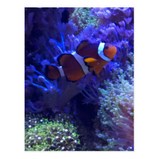 Clown fish postcards