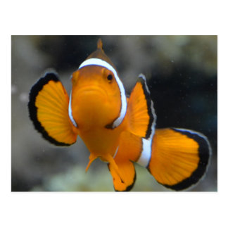 clownfish facing front postcard