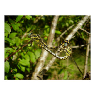 Club-tailed Dragonflies Poster