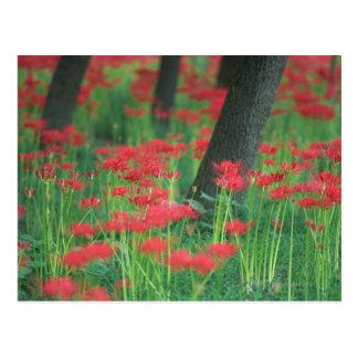 Cluster-amaryllis Postcard