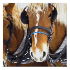 Clydesdale Draught   Horse Poster Print
