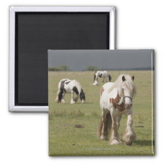 Clydesdale horses in a field, Northumberland, Magnet