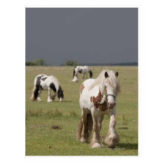 Clydesdale horses in a field, Northumberland, Postcard