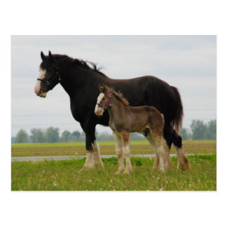 clydesdale mare and filly postcard