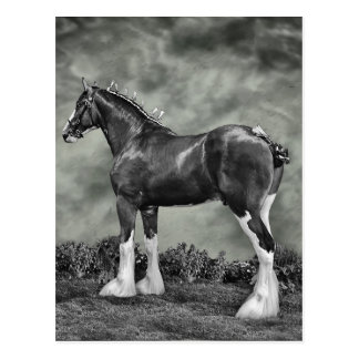 Clydesdale Stallion B&W Postcard