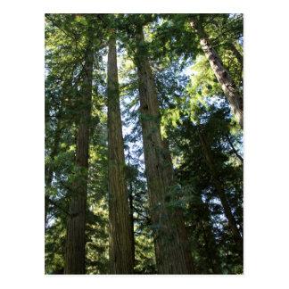 Coast Redwood Trees Postcard