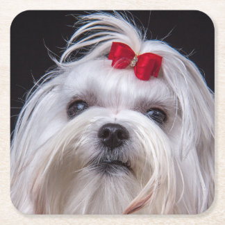Coaster maltese small white toy dog