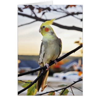 Cockatiel Profile Photograph Card