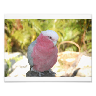 Cockatoo photograph
